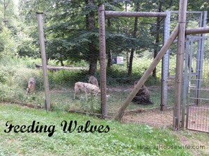 wolves-feeding