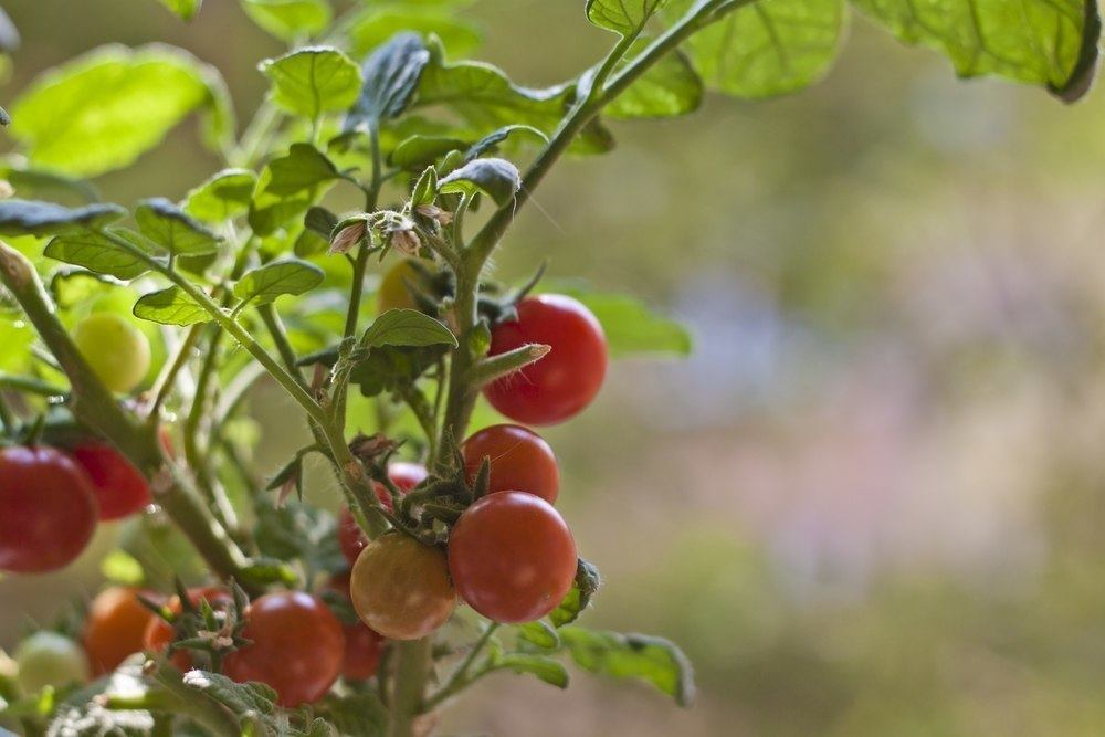 Why we grow our own tomatoes each year and how we do it.
