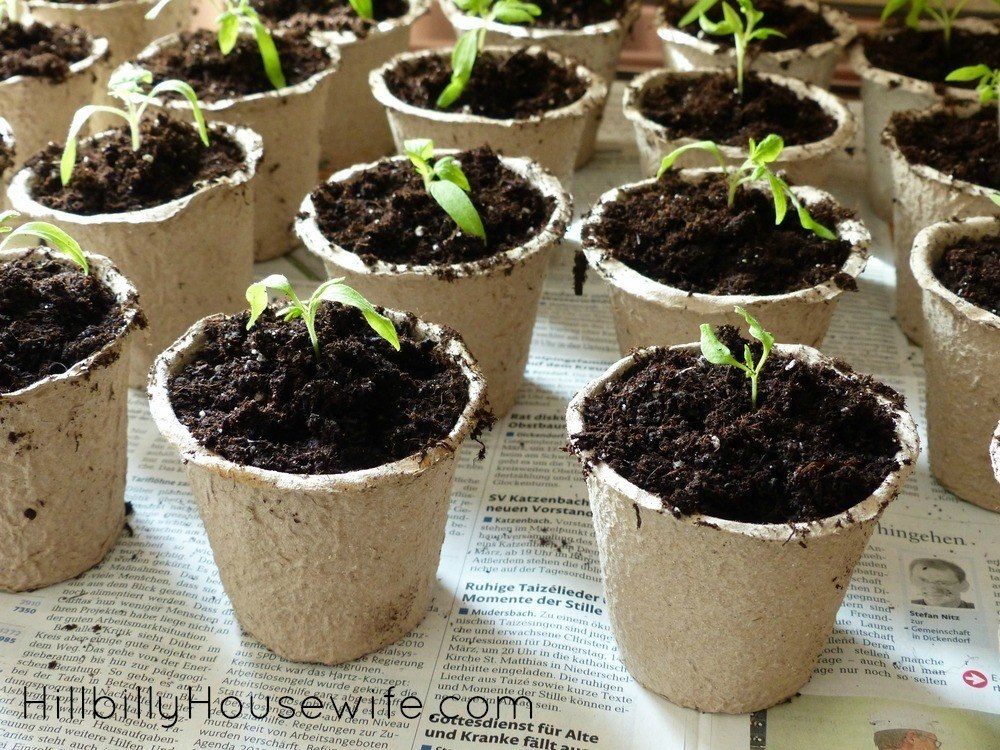 Start your tomato plants early from seed. Tomato seedlings can be started inside in small containers before transplanting them to larger containers or the garden bed outside.